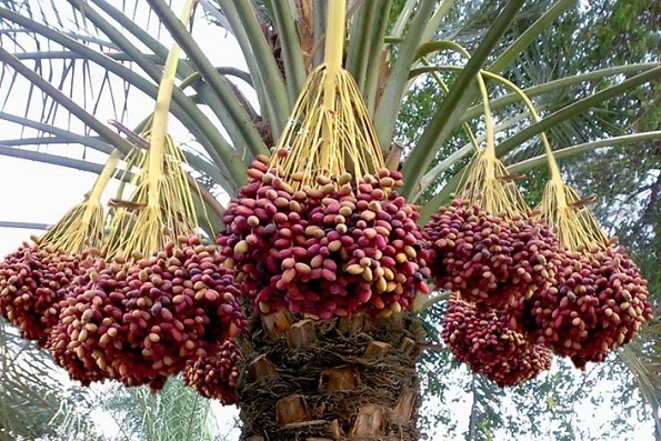(Palm tree (dates
