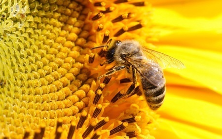 How do bees make honey in nature